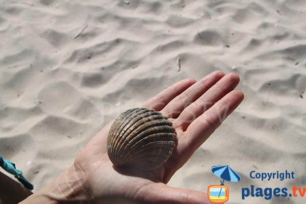 Coquillage sur la plage de l'ile de Tavira - Portugal